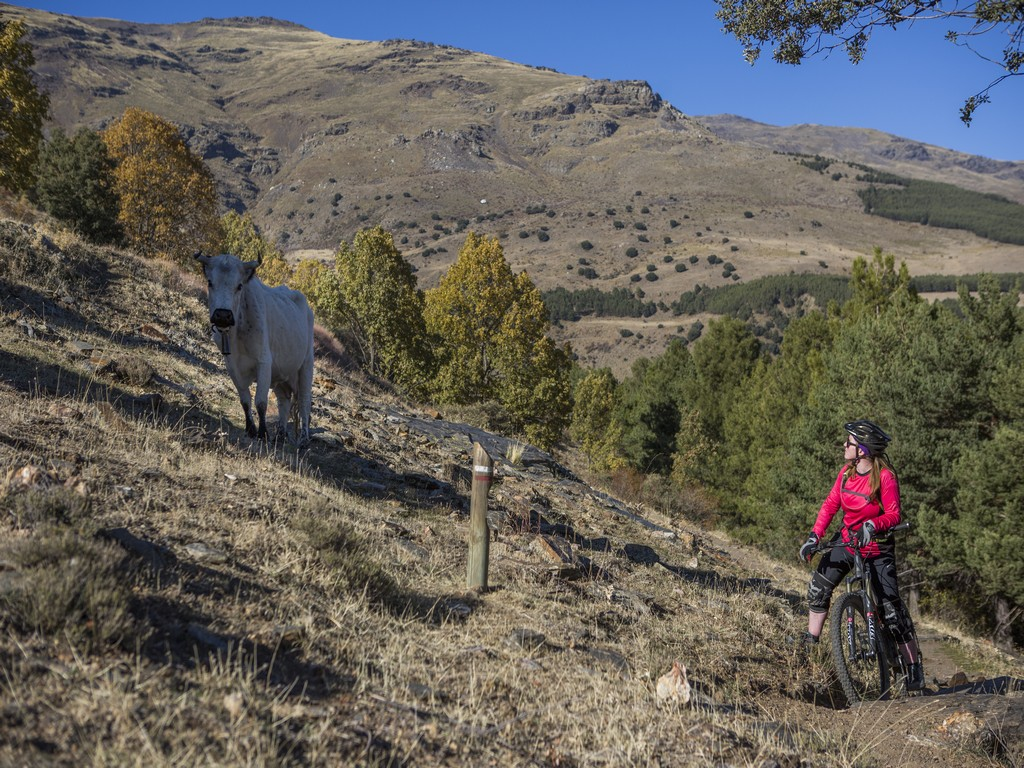 Lone mountain biker and cow